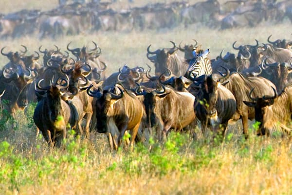 Buffalos And Wild Beasts 009 Photography Art   Cheng Yan Studio