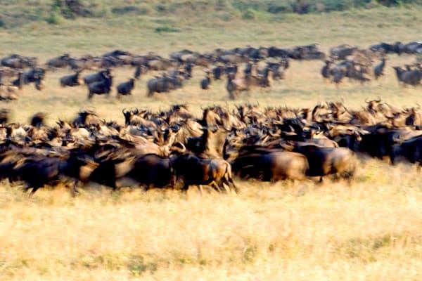 Buffalos And Wild Beasts 011 Photography Art   Cheng Yan Studio