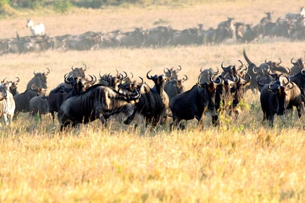 Buffalos And Wild Beasts 010 Photography Art   Cheng Yan Studio