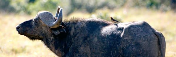 Buffalos And Wild Beasts 015 Photography Art   Cheng Yan Studio