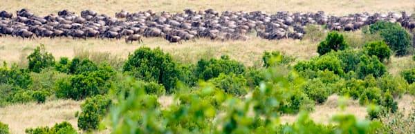 Buffalos And Wild Beasts 013 Photography Art   Cheng Yan Studio