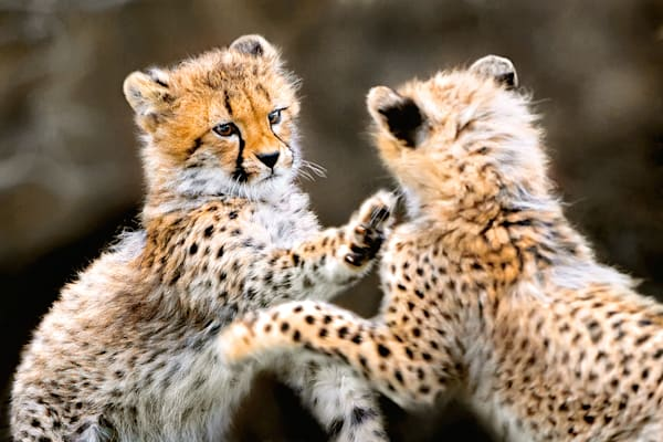 Cheetahs 002 Photography Art | Cheng Yan Studio