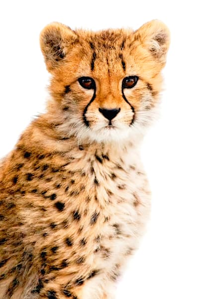 Cheetahs 006 Photography Art | Cheng Yan Studio