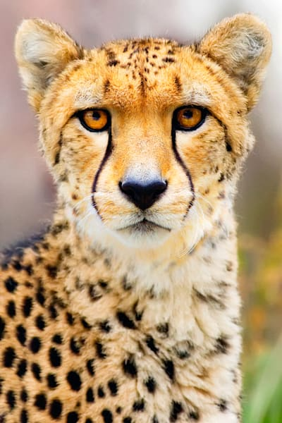 Cheetahs 005 Photography Art | Cheng Yan Studio