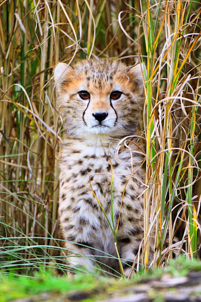 Cheetahs 001 Photography Art | Cheng Yan Studio