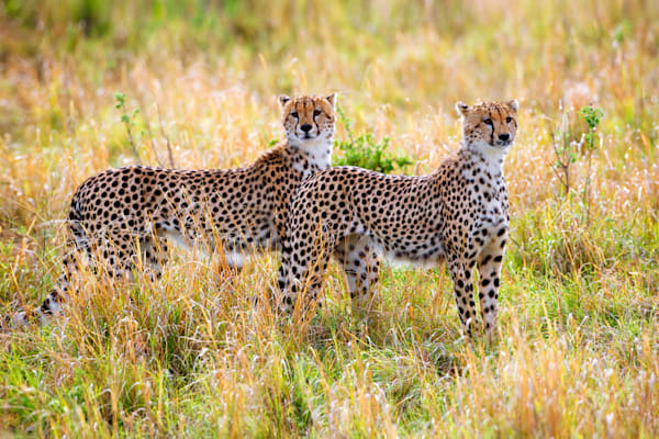 Cheetahs 004 Photography Art | Cheng Yan Studio