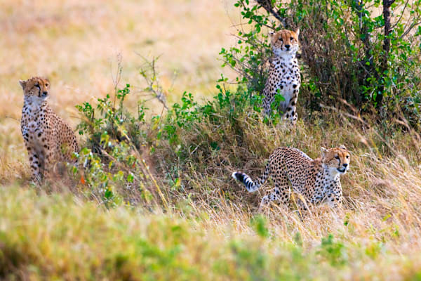 Cheetahs 011 Photography Art | Cheng Yan Studio