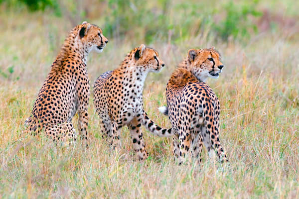 Cheetahs 013 Photography Art | Cheng Yan Studio