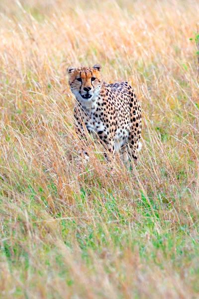 Cheetahs 014 Photography Art | Cheng Yan Studio