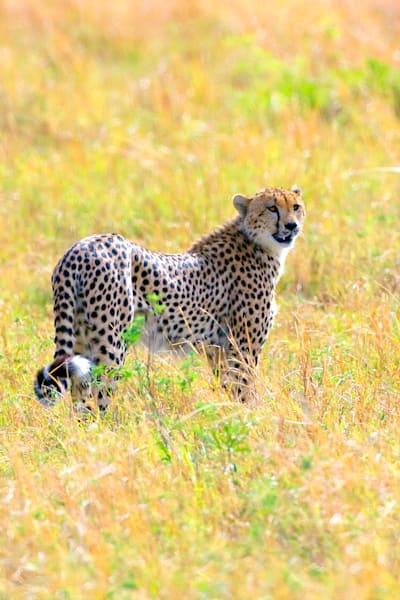 Cheetahs 016 Photography Art | Cheng Yan Studio