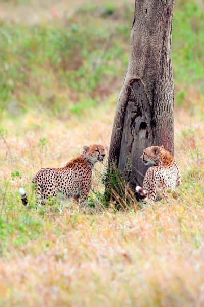 Cheetahs 017 Photography Art | Cheng Yan Studio