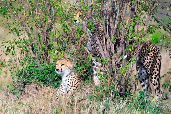 Cheetahs 015 Photography Art | Cheng Yan Studio