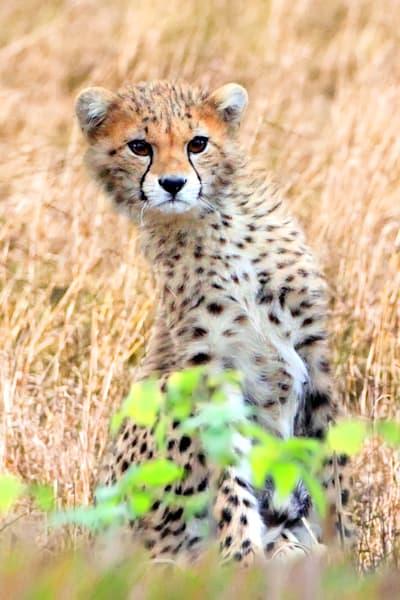 Cheetahs 021 Photography Art | Cheng Yan Studio