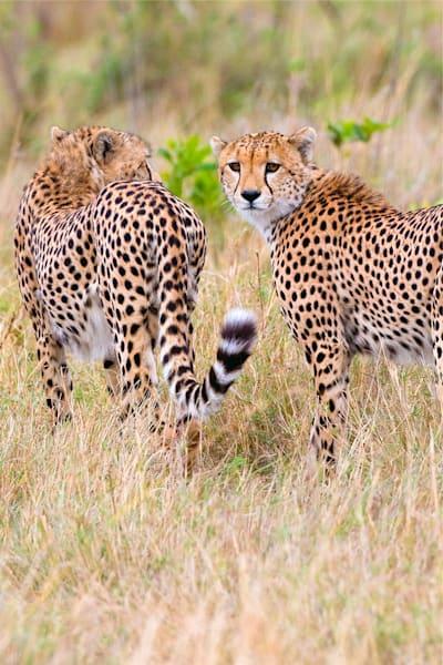 Cheetahs 020 Photography Art | Cheng Yan Studio