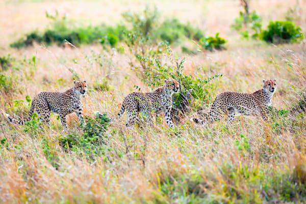 Cheetahs 022 Photography Art | Cheng Yan Studio