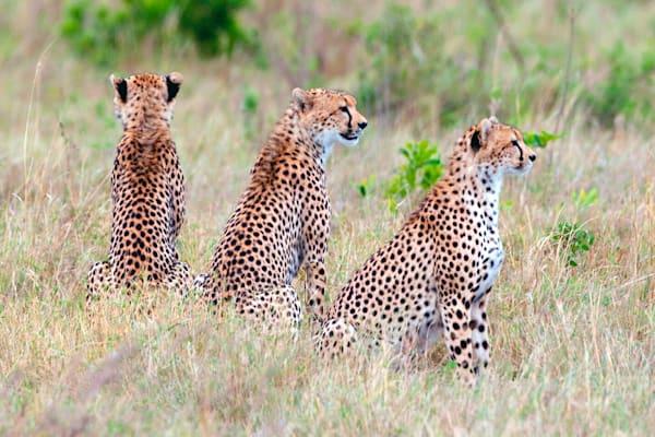 Cheetahs 024 Photography Art | Cheng Yan Studio