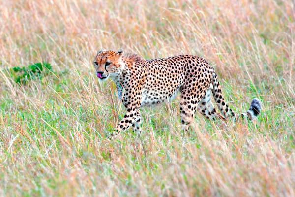 Cheetahs 023 Photography Art | Cheng Yan Studio