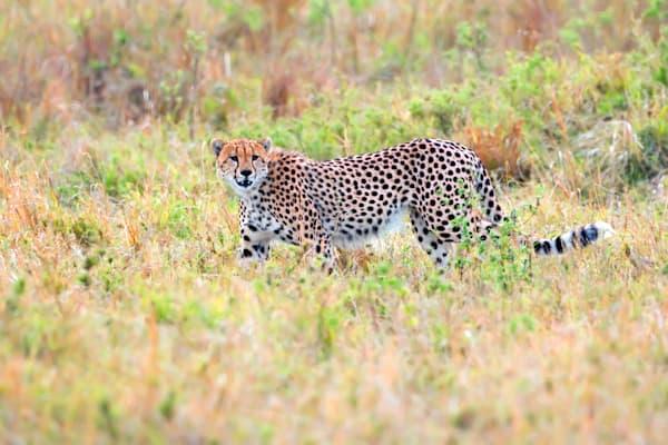 Cheetahs 025 Photography Art | Cheng Yan Studio