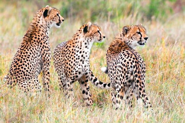 Cheetahs 027 Photography Art | Cheng Yan Studio