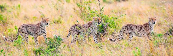 Cheetahs 028 Photography Art | Cheng Yan Studio