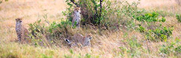 cheetahs-029