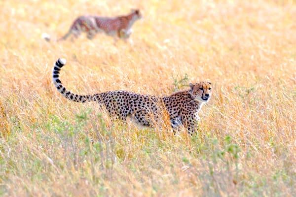 Cheetahs 026 Photography Art | Cheng Yan Studio