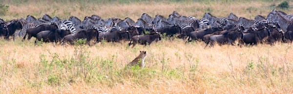 Cheetahs 031 Photography Art | Cheng Yan Studio