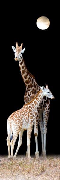 Giraffes 005 Photography Art | Cheng Yan Studio