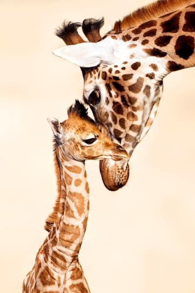 giraffes-003