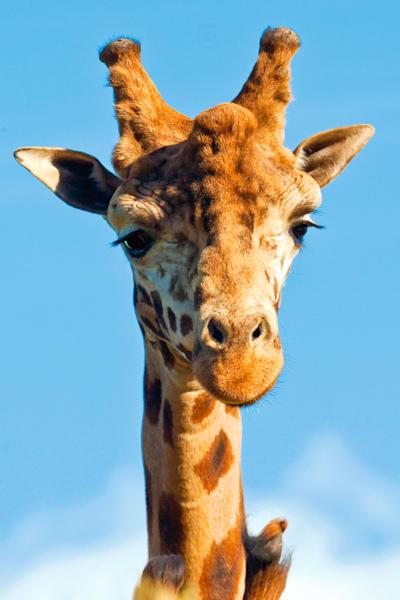 Giraffes 007 Photography Art | Cheng Yan Studio