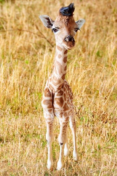 giraffes-002