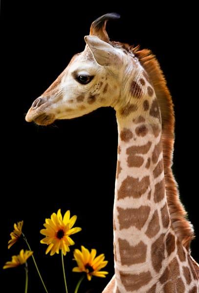giraffes-012