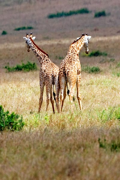 giraffes-009