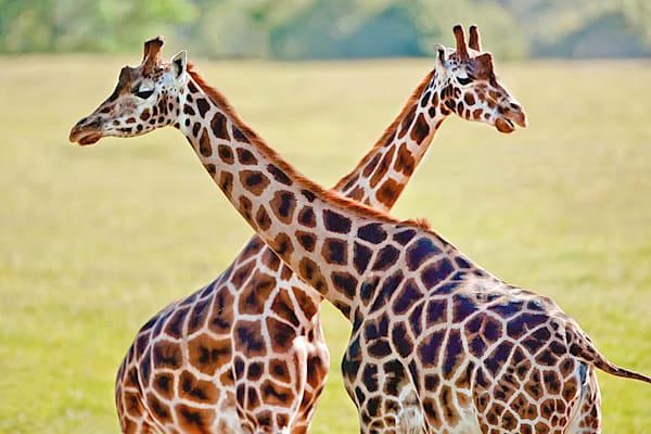 giraffes-013