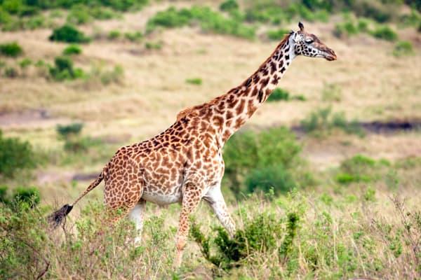giraffes-014