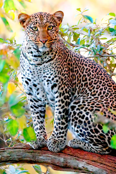 Leopards 002 Photography Art | Cheng Yan Studio