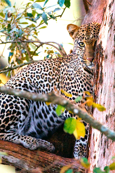 leopards-006