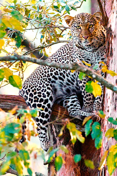 leopards-003