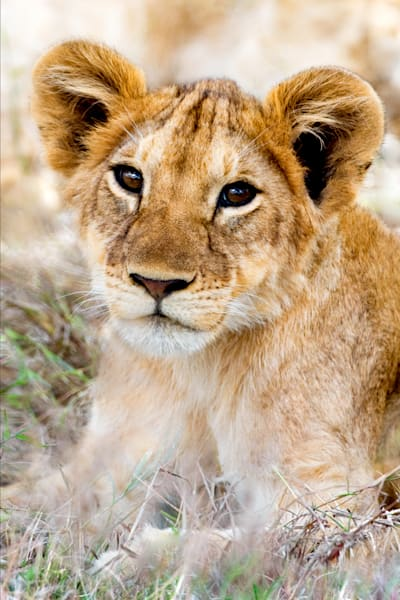 lions-002