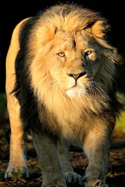 lions-005