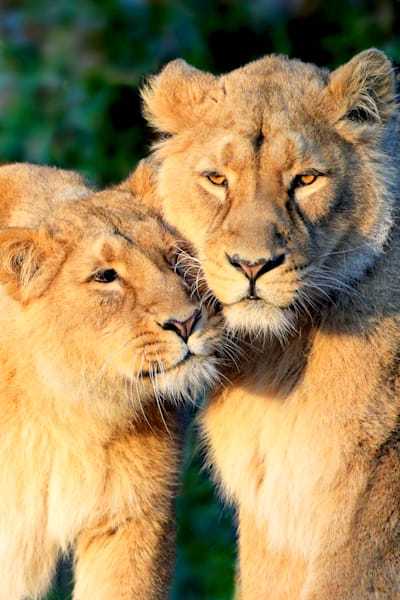 lions-004