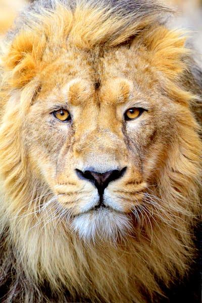 Lions 001 Photography Art | Cheng Yan Studio