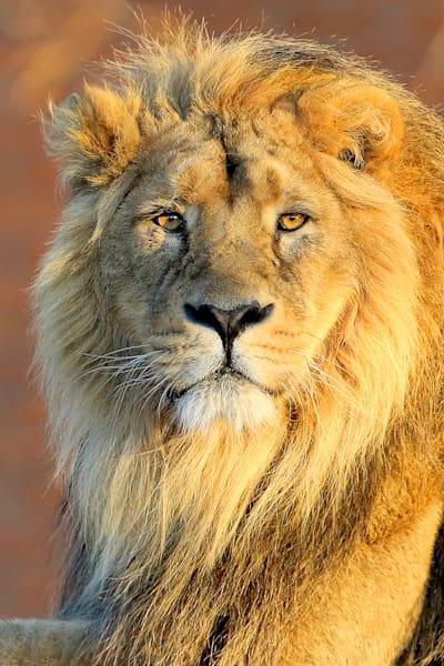 lions-003