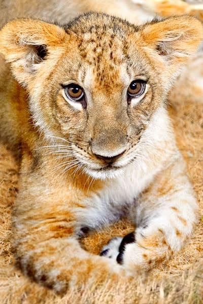 Lions 007 Photography Art | Cheng Yan Studio
