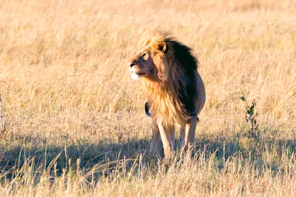 lions-009