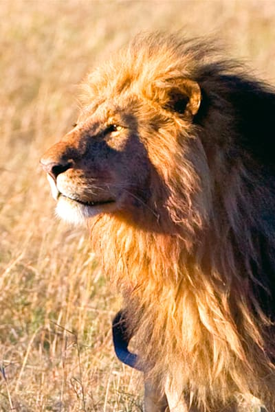 Lions 012 Photography Art | Cheng Yan Studio