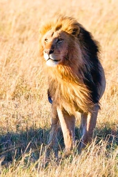 lions-011