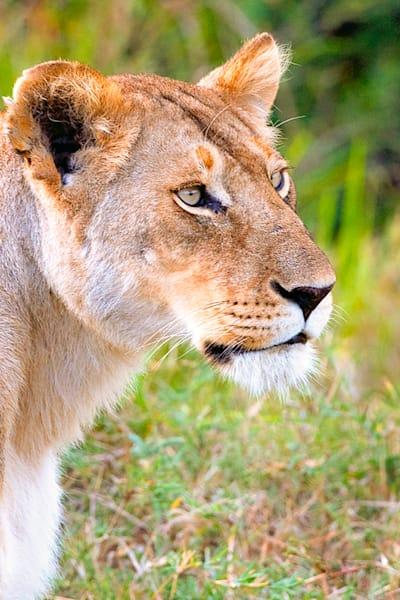 lions-010