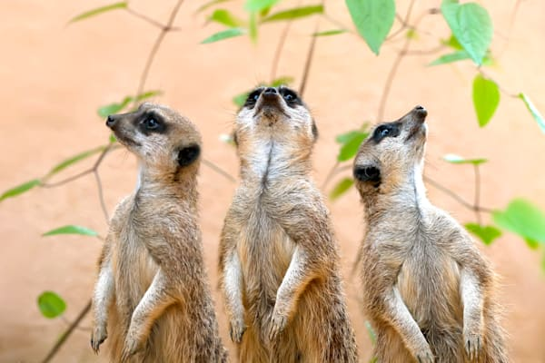 Meerkats 001 Photography Art | Cheng Yan Studio