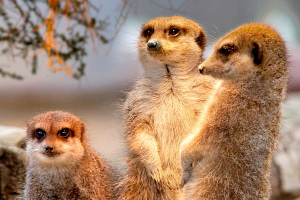 Meerkats 002 Photography Art | Cheng Yan Studio
